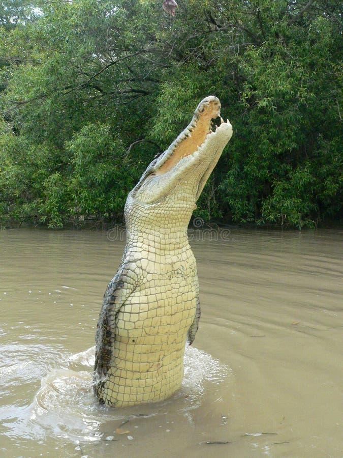 Australien krokodil darwin som nära hoppar royaltyfria bilder
