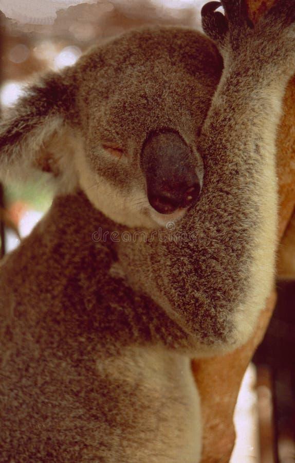 Australien: Lat koala som kopplar av i eukalyptusträdet arkivfoton