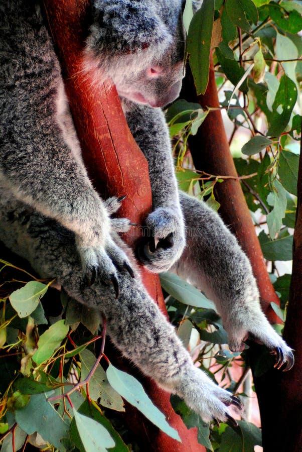 Australien som sover upp koalaslut royaltyfri bild