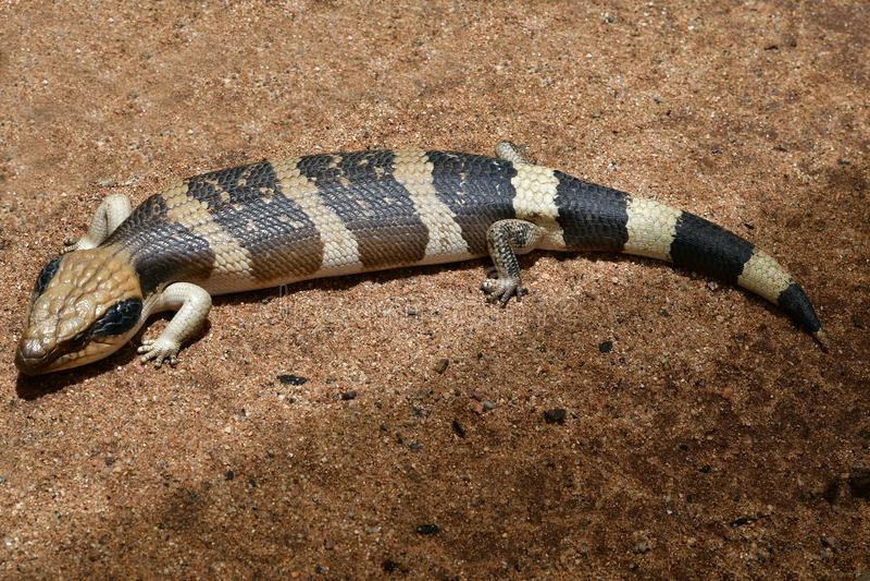 Australien zoologi, reptil arkivfoto