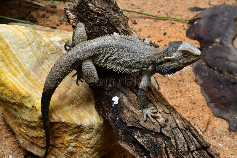 Australien, Zoologie lizenzfreie stockfotos