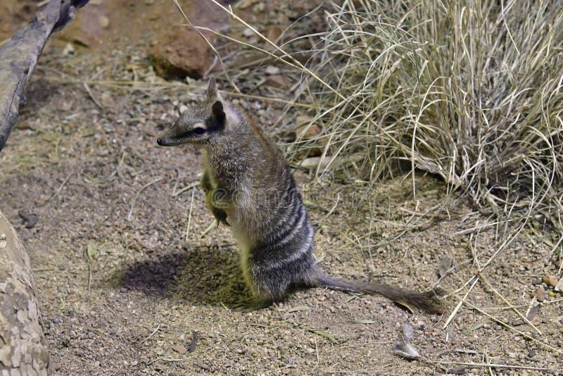 Australien, Zoologie, Numbat lizenzfreie stockfotos