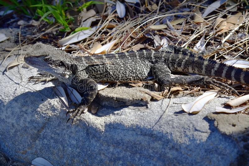 Australien, Zoologie, Reptil stockfoto