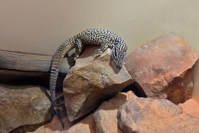 Australien, Zoologie, Reptil stockbilder