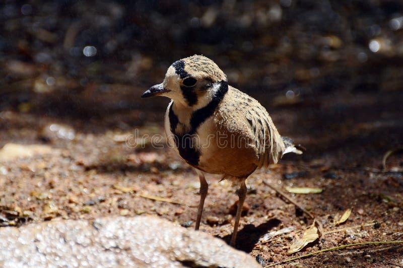 Australien, Zoologie, Vögel stockbilder