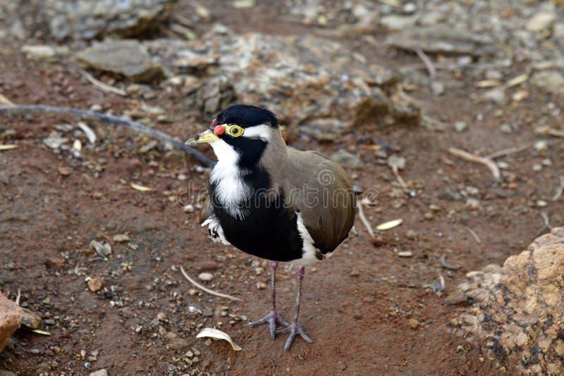 Australien, Zoologie, Vögel lizenzfreies stockbild