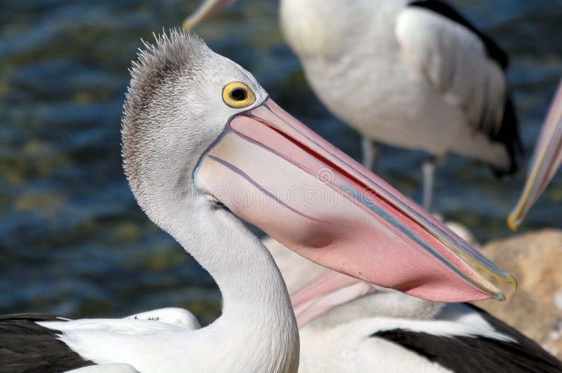 australiensisk bestämd pelikan fotografering för bildbyråer