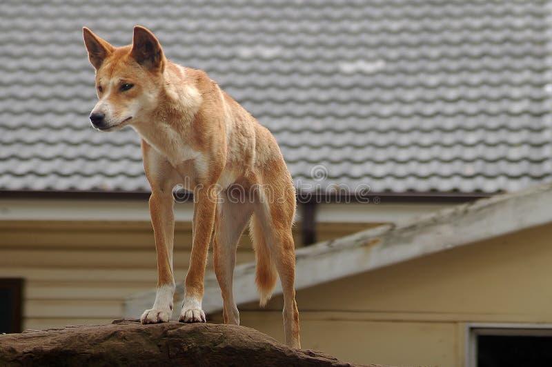 australiensisk dingo arkivbild