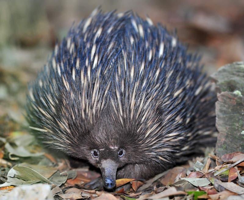 Australiensisk echidna eller spiny anteater, queensland royaltyfria bilder
