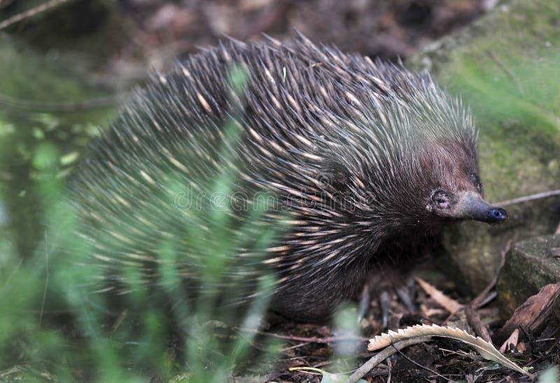 australiensisk echidnaporcupine spiny sydney för anteater arkivbilder