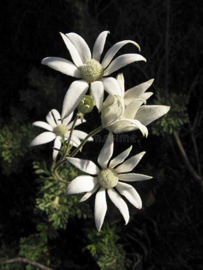 australiensisk flanellblomma royaltyfri bild