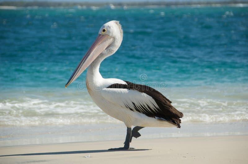 australiensisk pelikan royaltyfri bild