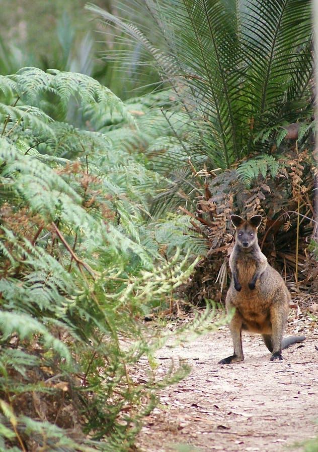 australiensisk vallaby royaltyfria foton