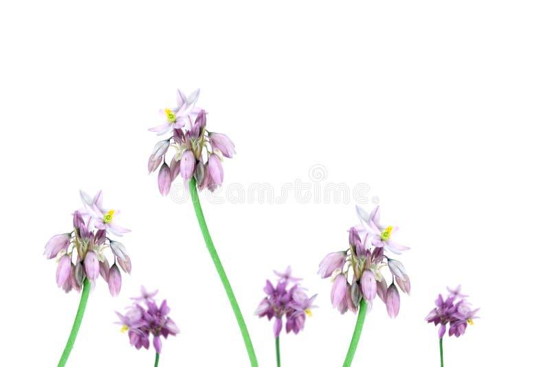 Australiensisk Wild blommavaniljlilja Sowerbaea royaltyfri bild
