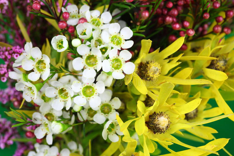Australiensiska infödda blommor royaltyfri foto