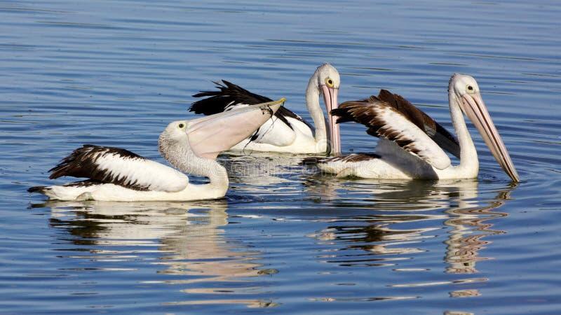 australiensiska pelikan arkivbild