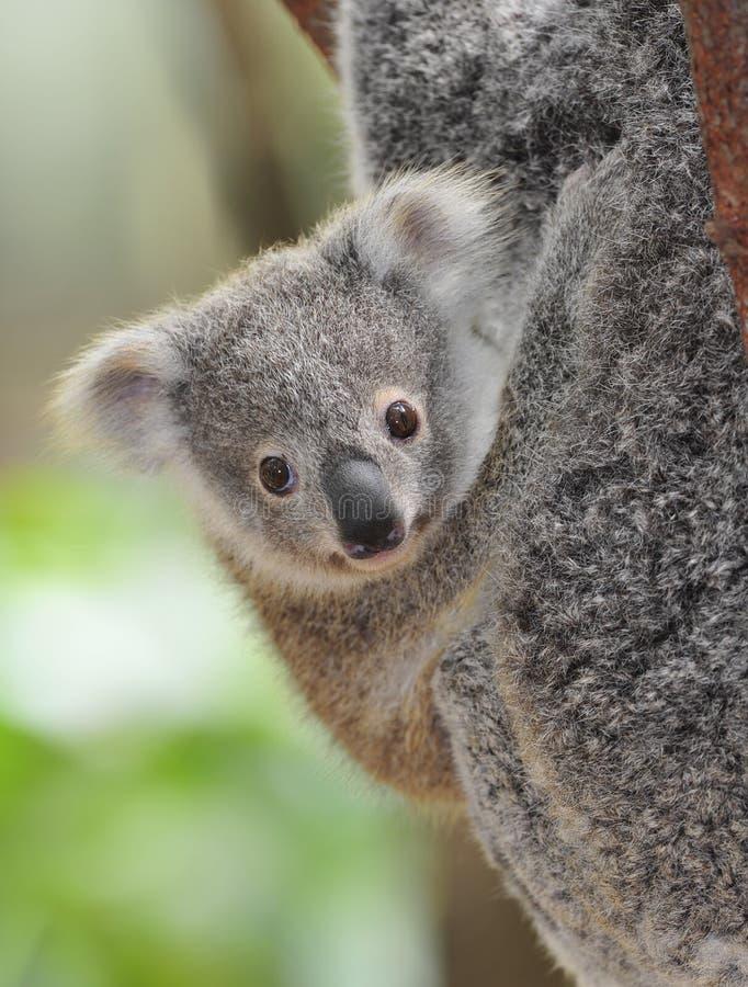 australier behandla som ett barn björncommonkoalaen royaltyfri fotografi