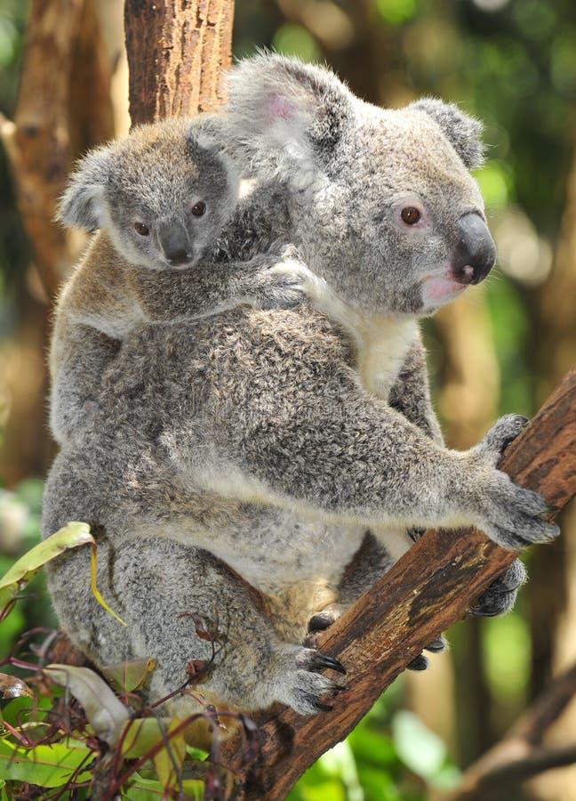 australier behandla som ett barn björnen som bär den gulliga koalaen arkivfoto
