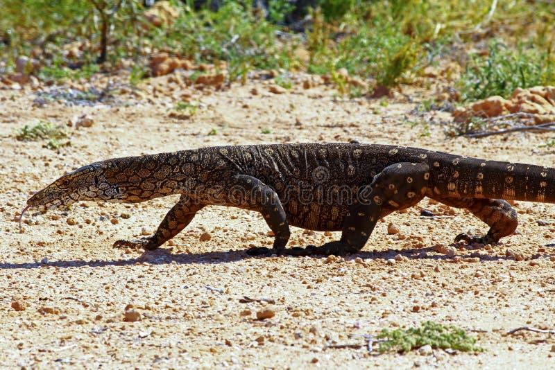 Australier Goanna/Spitze-Monitor (Varanus varius) stockfoto