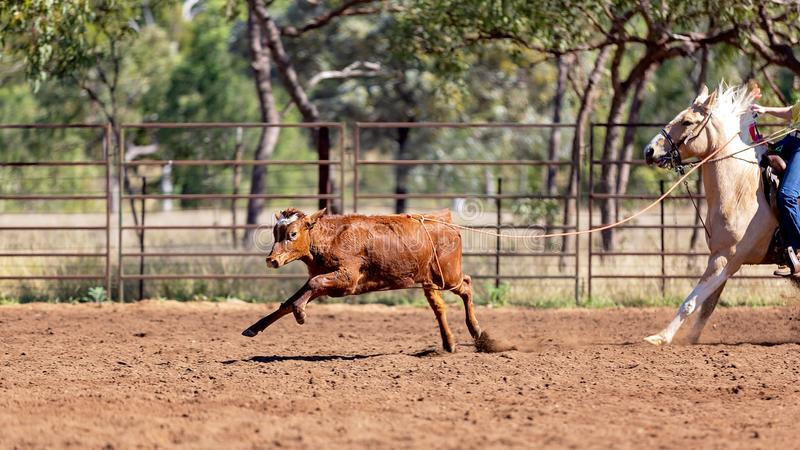 Australier-Team Calf Roping At Country-Rodeo stockfoto