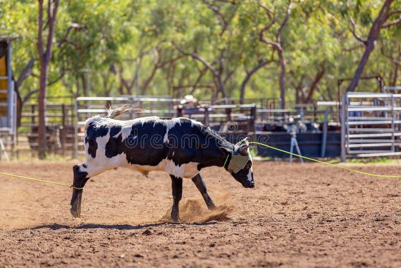 Australier-Team Calf Roping At Country-Rodeo stockbild