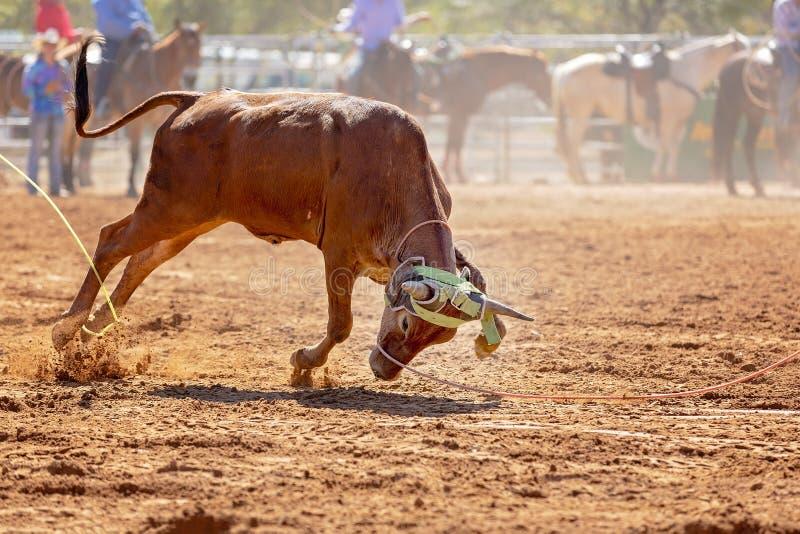 Australier Team Calf Roping Rodeo Event arkivbild