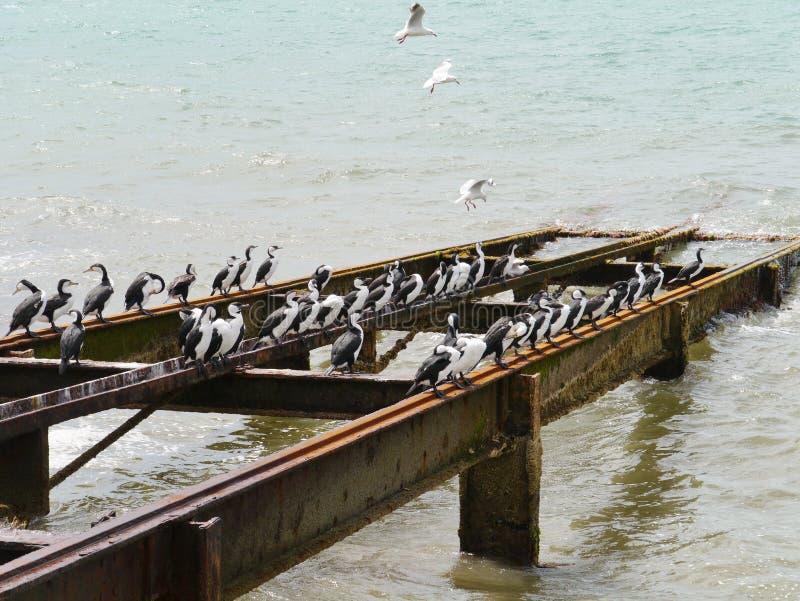 Australiersvart vände mot kormoran royaltyfri foto