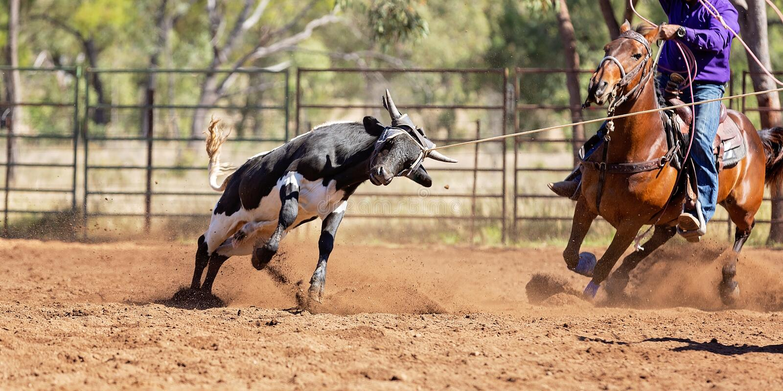 AustralierTeam Calf Roping At Country rodeo arkivfoto
