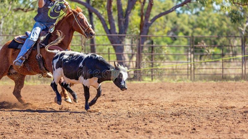 AustralierTeam Calf Roping At Country rodeo royaltyfri bild