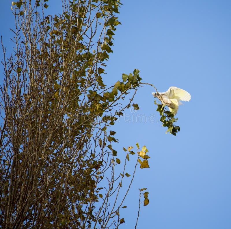 Australijczyk Corella Lata topolowa gałąź w opóźnionej jesieni obraz stock