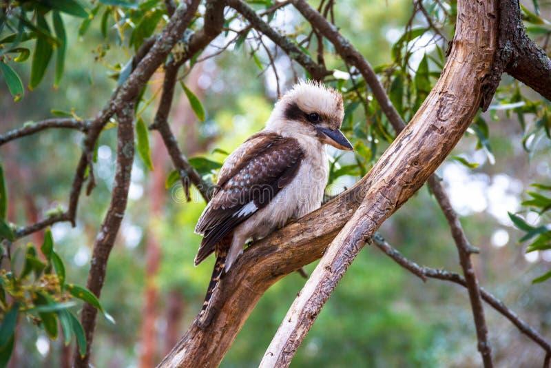 Australijczyk Kookaburra w lesie obrazy stock