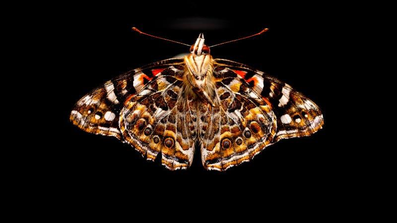 Australijczyk malujący dama motyl obraz stock