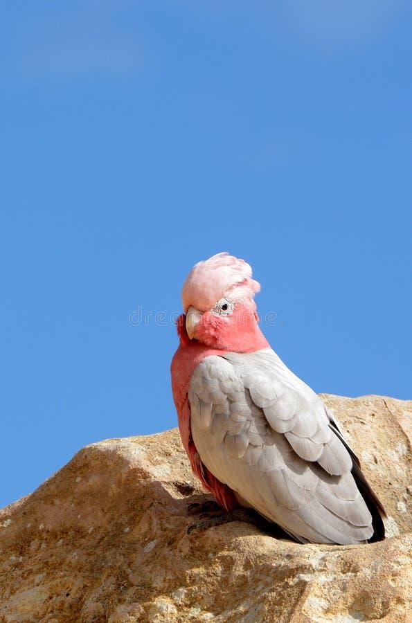 Australijczyka Galah ptak z menchia pióropuszem i głową zdjęcia stock