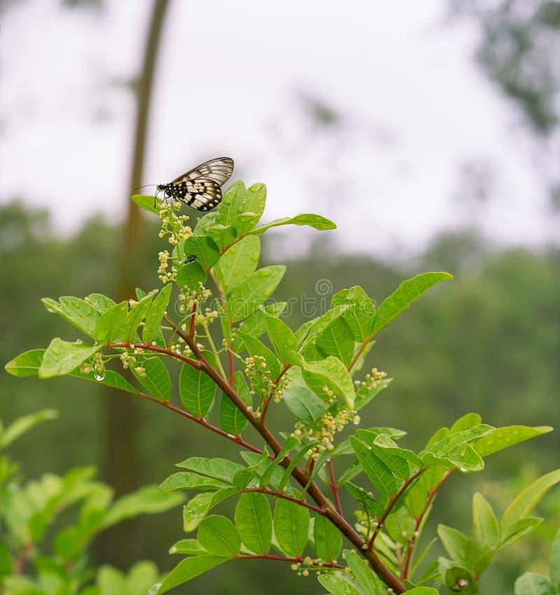 Australijczyka Glasswing motyl na Peppertree w kwiacie zdjęcie stock