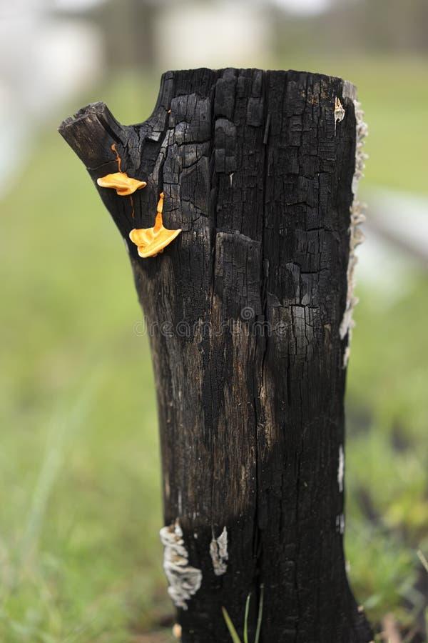 Australijczyka krajobraz Burnt Czarny fiszorek z Kinkietowymi grzybami obrazy stock