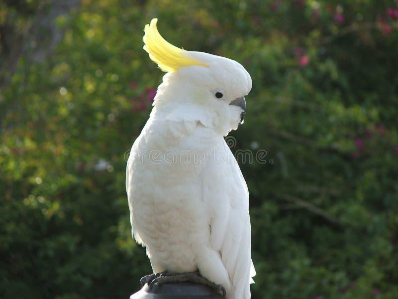 Australijczyka Sulphar Czubaty kakadu zdjęcie stock