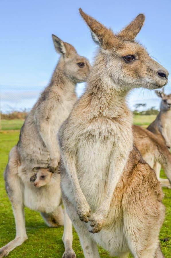 Australijscy czerwoni kangury z joey w kieszonce obraz royalty free