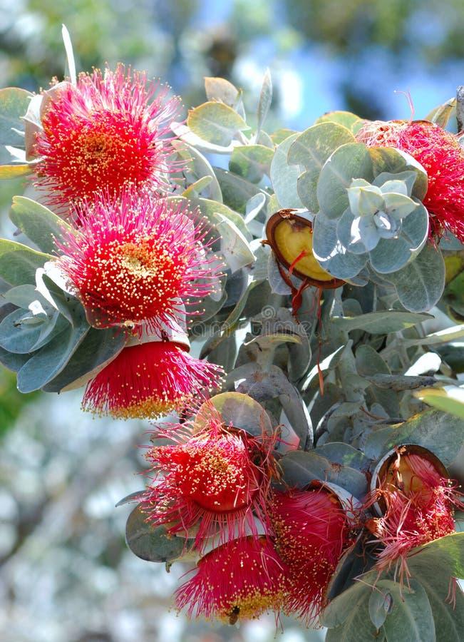 australijscy eucalythus flor fowers czerwieni drzewa zdjęcia stock
