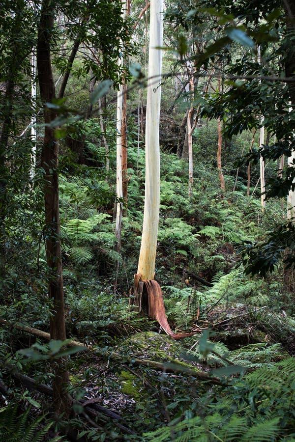 Australijscy eukaliptusowi gumowi drzewa w lesie tropikalnym zdjęcie royalty free