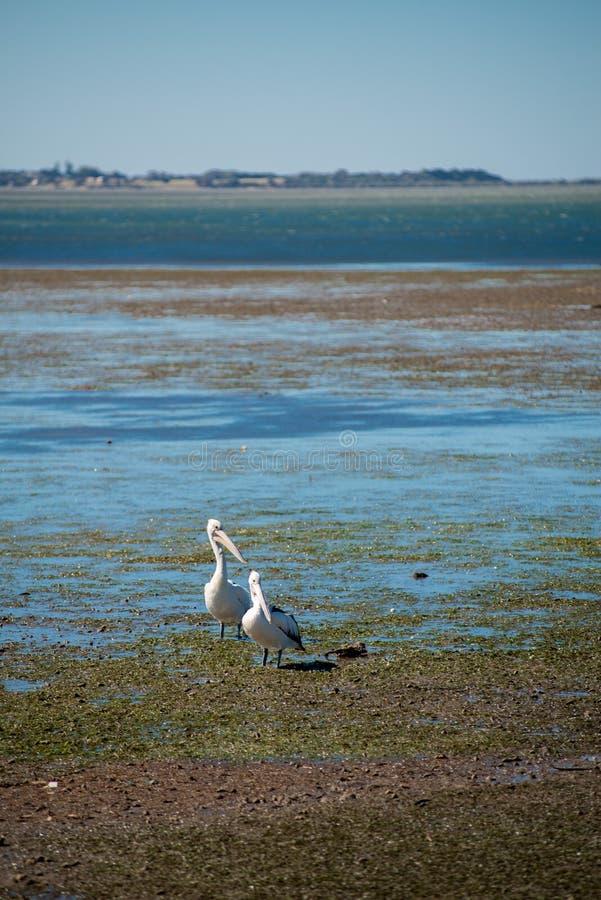 Australijscy pelikany szuka jedzenie przy plażą wokoło Brisbane, Australia Australia jest kontynentem lokalizować w południowej c zdjęcie stock