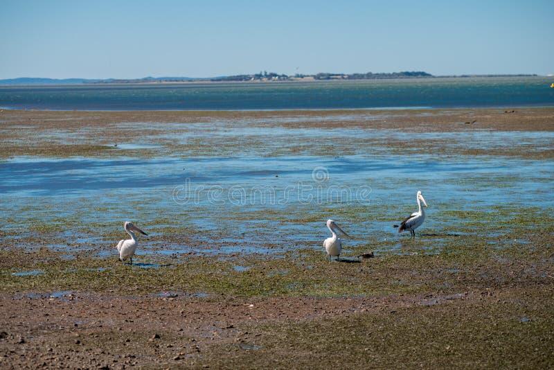 Australijscy pelikany szuka jedzenie przy plażą wokoło Brisbane, Australia Australia jest kontynentem lokalizować w południowej c zdjęcie royalty free