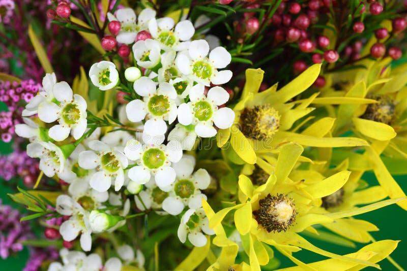 Australijscy rodzimi kwiaty zdjęcie royalty free