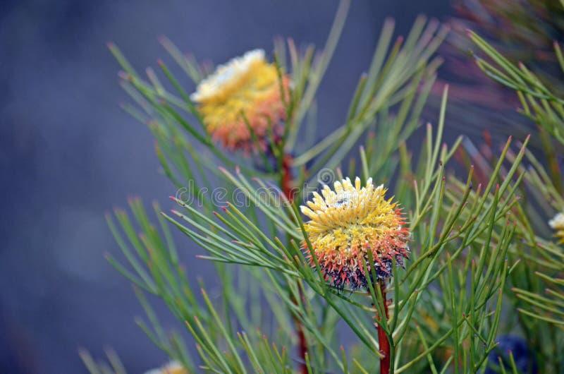 Australijscy rodzimi liścia drumstick kwiaty obraz stock