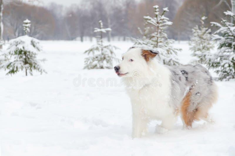 Australijska baca Młodzi energiczni psów spacery zdjęcia royalty free