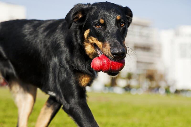 Beauceron, Australijski Pasterski pies z zabawką przy parkiem/ obraz stock