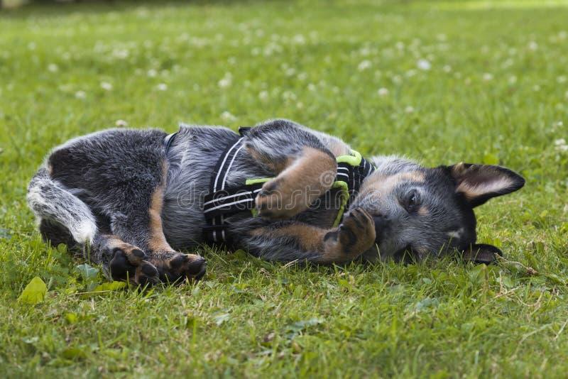 Australijska bydło psa ciucia relaksuje na trawie fotografia stock