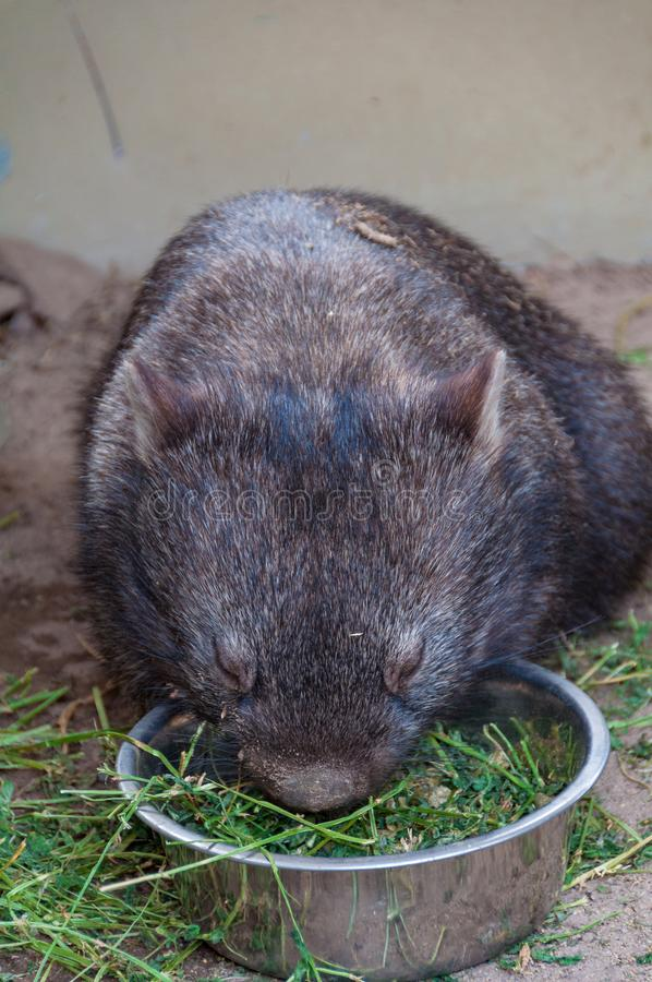 Australijska dziecka wombat łasowania trawa zdjęcia royalty free