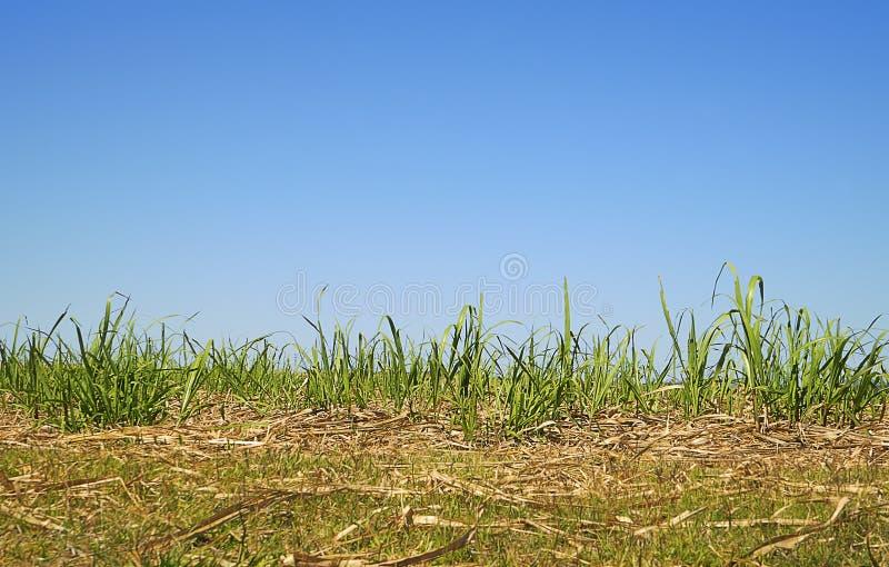 Australijska linia horyzontu z Długim Zielonej trawy trzciny cukrowa ulistnieniem obrazy stock