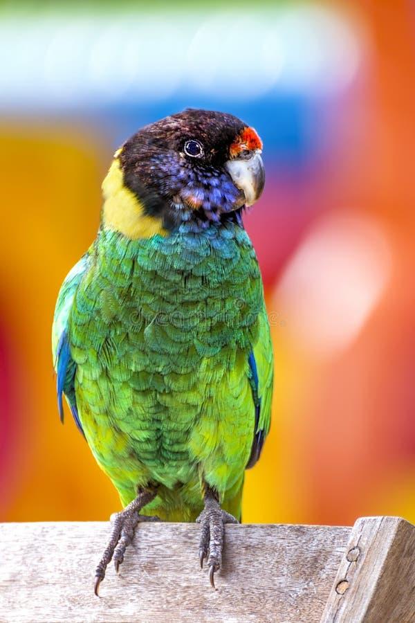 Australijska Ringneck papuga zdjęcia royalty free