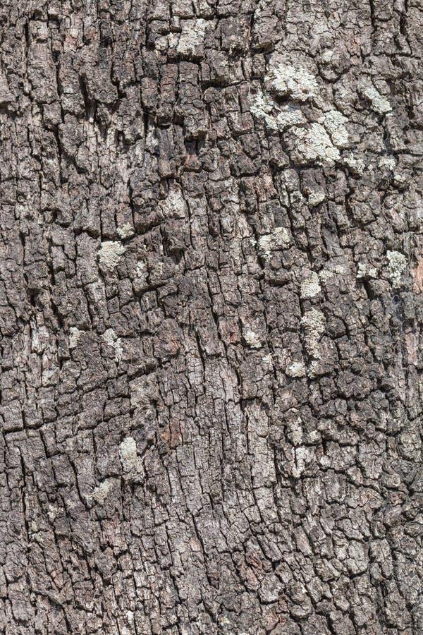 Australijska sosna zdjęcie stock